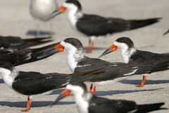 Black skimmer, rynchops niger Royalty Free Stock Photos