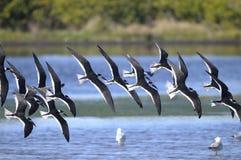 Black skimmer, rynchops niger Royalty Free Stock Photo