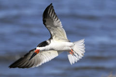 Black skimmer, rynchops niger Royalty Free Stock Images