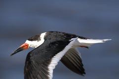 Black skimmer, rynchops niger Royalty Free Stock Photography