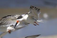 Black skimmer, rynchops niger Stock Image