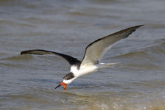Black skimmer, rynchops niger Stock Photos