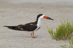 Black skimmer (Rynchops niger)on the beach Stock Images