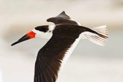 Black Skimmer, Rynchops niger, beautiful tern in fly. Black Skimmer in the Florida coast, USA. Bird in the nature sea habitat. Ski Stock Photo