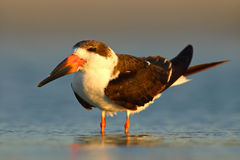 Black Skimmer, Rynchops niger, beautiful tern in the water. Black Skimmer in the Florida coast, USA. Bird in the nature sea habita Royalty Free Stock Images