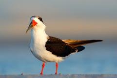 Black Skimmer, Rynchops niger, beautiful tern in the water. Black Skimmer in the Florida coast, USA. Bird in the nature sea habita stock image