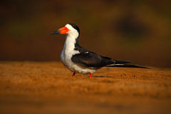 Black Skimmer, Rynchops niger, exotic bird in the nature habitat, bird sitting in the cost sand, Rio Negro, Pantanal, Brazil Royalty Free Stock Photos