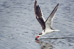 Black skimmer Rynchops niger Royalty Free Stock Photo