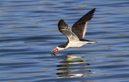 Black skimmer (Rynchops niger) fishing along the shore Stock Photo