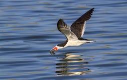 Black skimmer (Rynchops niger) fishing along the shore Stock Photo