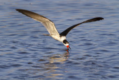 Black skimmer (Rynchops niger) fishing Stock Photography