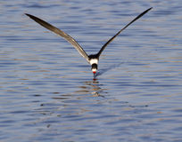 Black skimmer (Rynchops niger) fishing Stock Photos