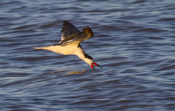 Black skimmer (Rynchops niger) fishing in the ocean at sunset Royalty Free Stock Photos