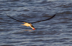 Black skimmer (Rynchops niger) fishing in the ocean at sunset Stock Photo