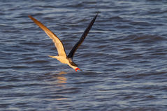 Black skimmer (Rynchops niger) fishing in the ocean at sunset Royalty Free Stock Photography