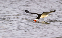 Black skimmer (Rynchops niger) fishing at sunrise along the shore Stock Images