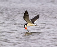 Black skimmer (Rynchops niger) fishing at sunrise along the shore Stock Photography