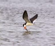 Black skimmer (Rynchops niger) fishing at sunrise along the shore Stock Photography