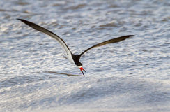 Black skimmer (Rynchops niger) fishing at sunrise. Royalty Free Stock Images