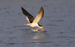 Black skimmer (Rynchops niger) fishing at sunrise along the shore Royalty Free Stock Photo