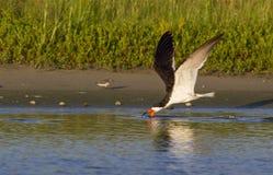 Black skimmer (Rynchops niger) fishing at sunrise along the shore Stock Photo