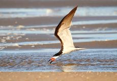 Black Skimmer (Rynchops niger) Stock Photography