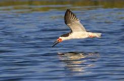 Black skimmer (Rynchops niger) flying Royalty Free Stock Image