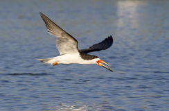 Black skimmer (Rynchops niger) flying Stock Photography