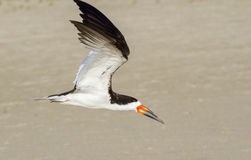Black skimmer (Rynchops niger) flying over the beach Stock Photography