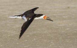 Black skimmer (Rynchops niger) flying over the beach Stock Photo