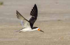 Black skimmer (Rynchops niger) flying over the beach Stock Image