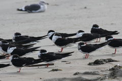 Black Skimmer (Rynchops niger) Royalty Free Stock Photography