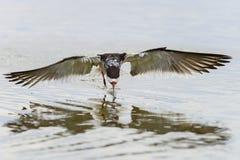 Black skimmer, rynchops niger Royalty Free Stock Images