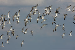 Black skimmer, Rynchops niger Royalty Free Stock Photography