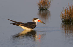 Black skimmer (Rynchops niger) in shallow water at sunset Stock Images