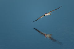 Black skimmer Rynchops niger Stock Photos