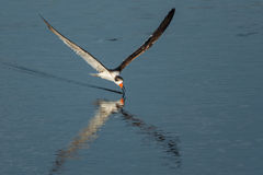 Black skimmer Rynchops niger Royalty Free Stock Photo
