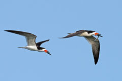 Black Skimmer's Royalty Free Stock Photos