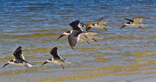 Black Skimmer Sea Birds Stock Photos