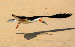 Black Skimmer and shadow in flight Stock Image