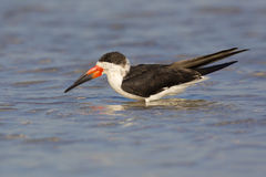 Black Skimmer Royalty Free Stock Photo