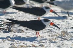 Black skimmer Stock Image