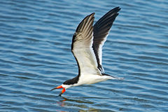 Black Skimmer Skimming Royalty Free Stock Photo