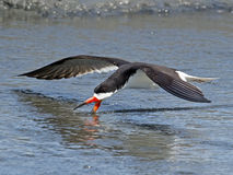 Black Skimmer Skimming Stock Photo