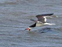 Black Skimmer Skimming Royalty Free Stock Photos