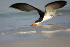 Black Skimmer skimming the surf. A Black Skimmer skimming the surf for a meal Stock Images