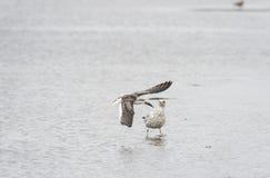 Black Skimmer startles gull Stock Images