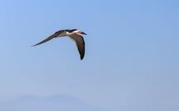 Black skimmer tern, Rynchops niger Stock Photography