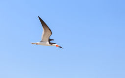Black skimmer tern, Rynchops niger Stock Images