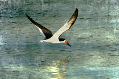 Black Skimmer, Textured Art Royalty Free Stock Image